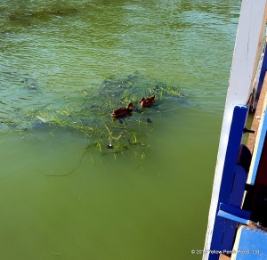 algal bloom Put in Bay