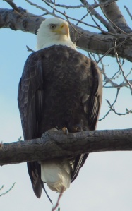 Eagle at Put in Bay