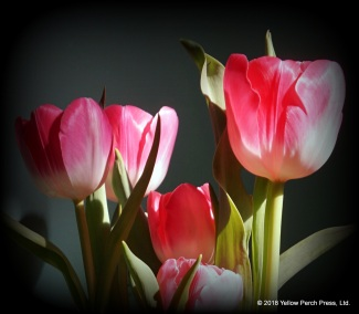 Put in Bay Tulips